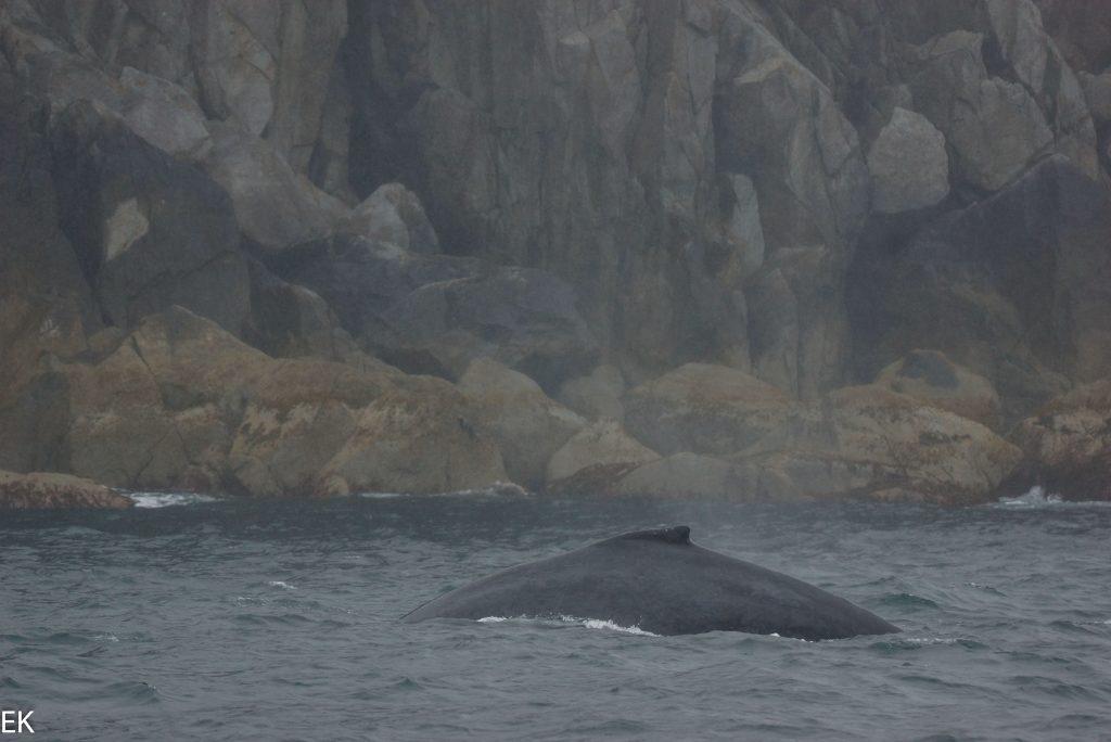 Humpback-Wal