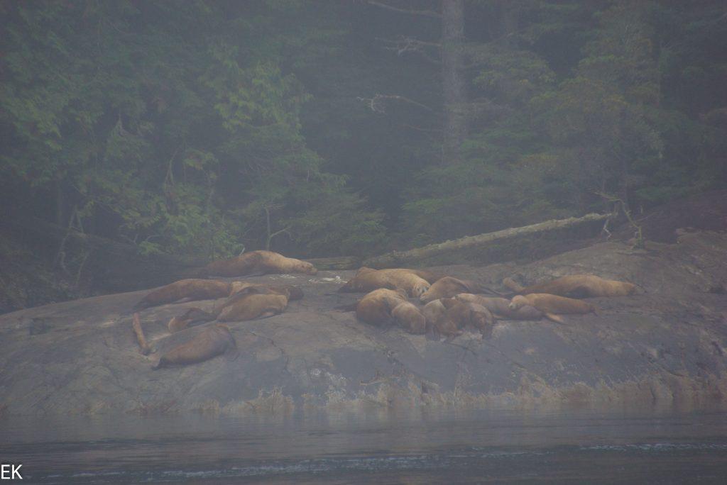Fette Seelöwen