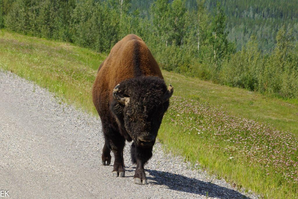 Bison at the road