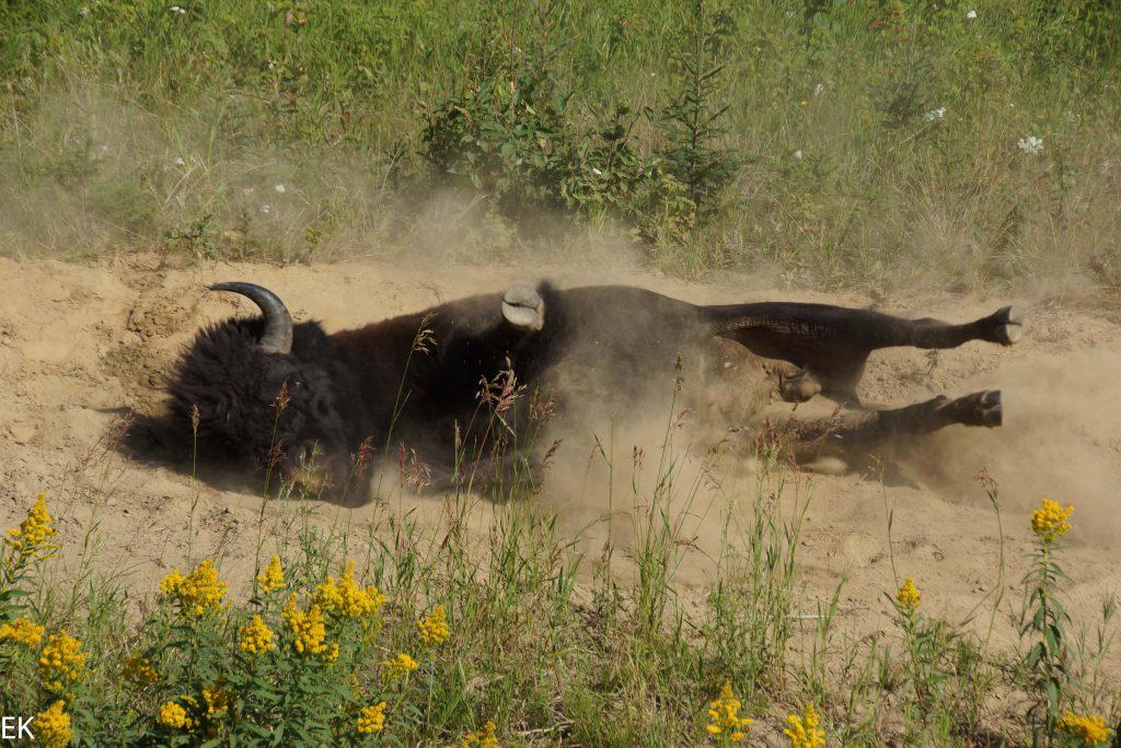 Bison bei der Fellpflege