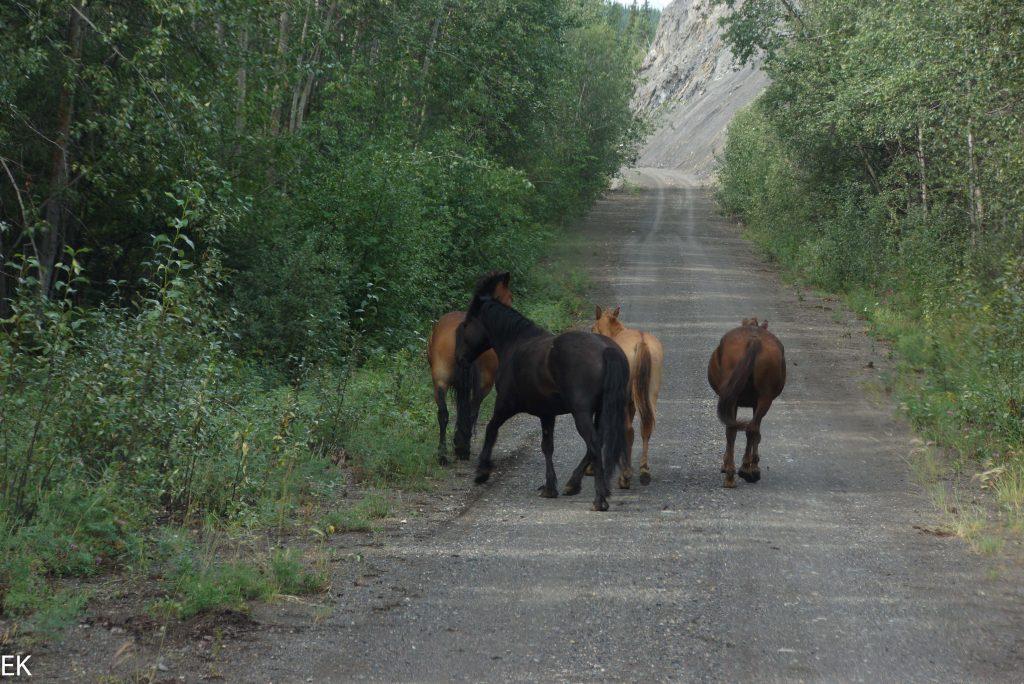 Wildpferde, unbeschlagen