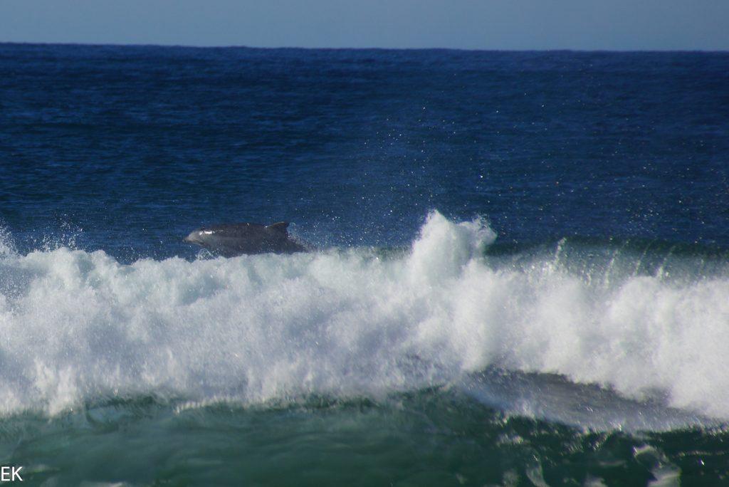 Surfender Delphin